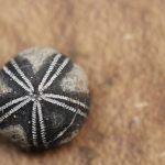 Fossil fossils sea urchins