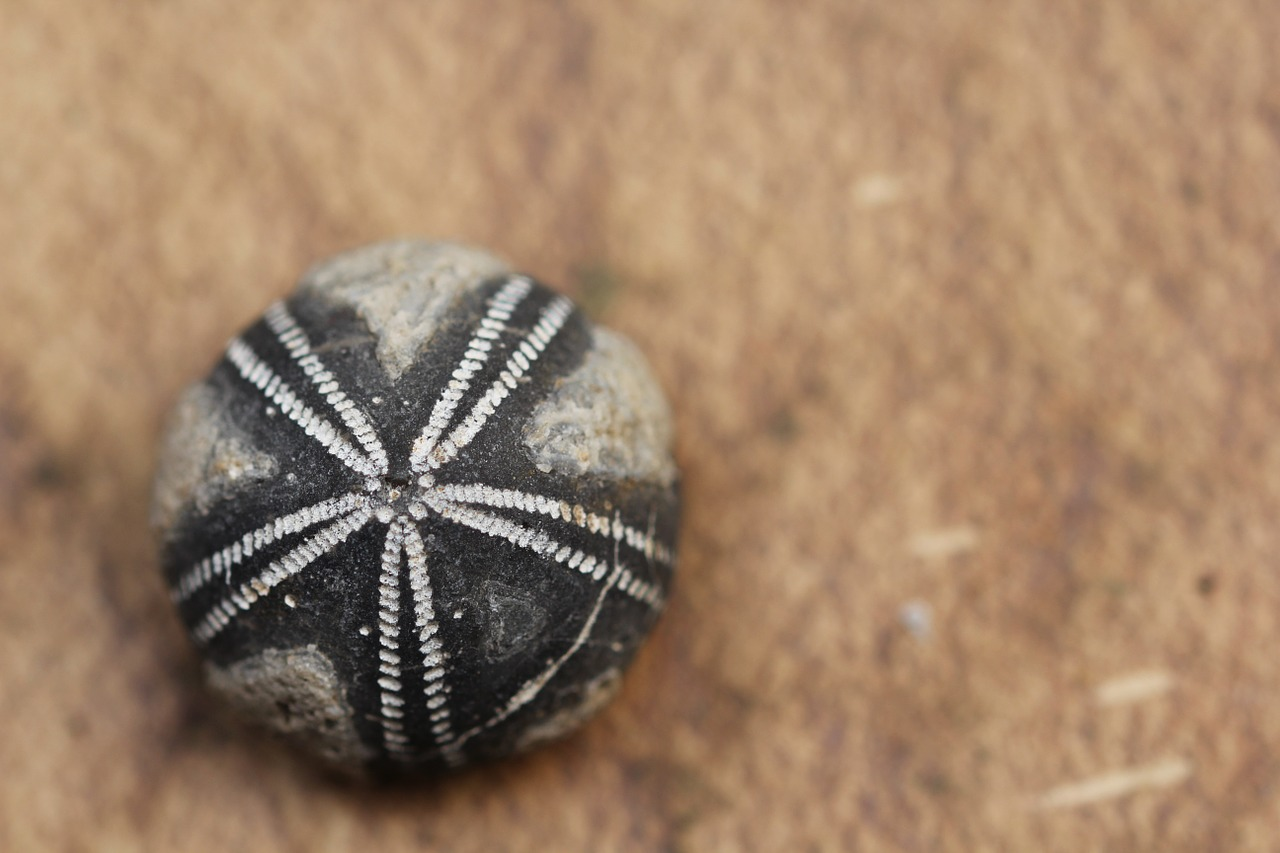Fossil fossils sea urchins