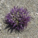 Sea urchins sea animal beach spur