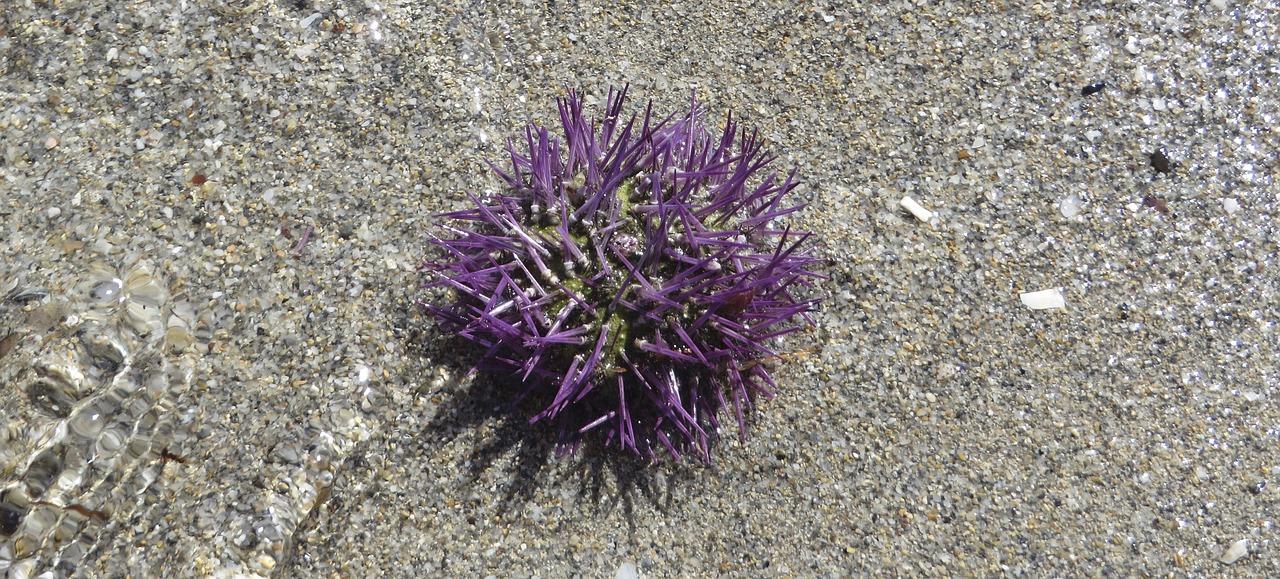 Sea urchins sea animal beach spur