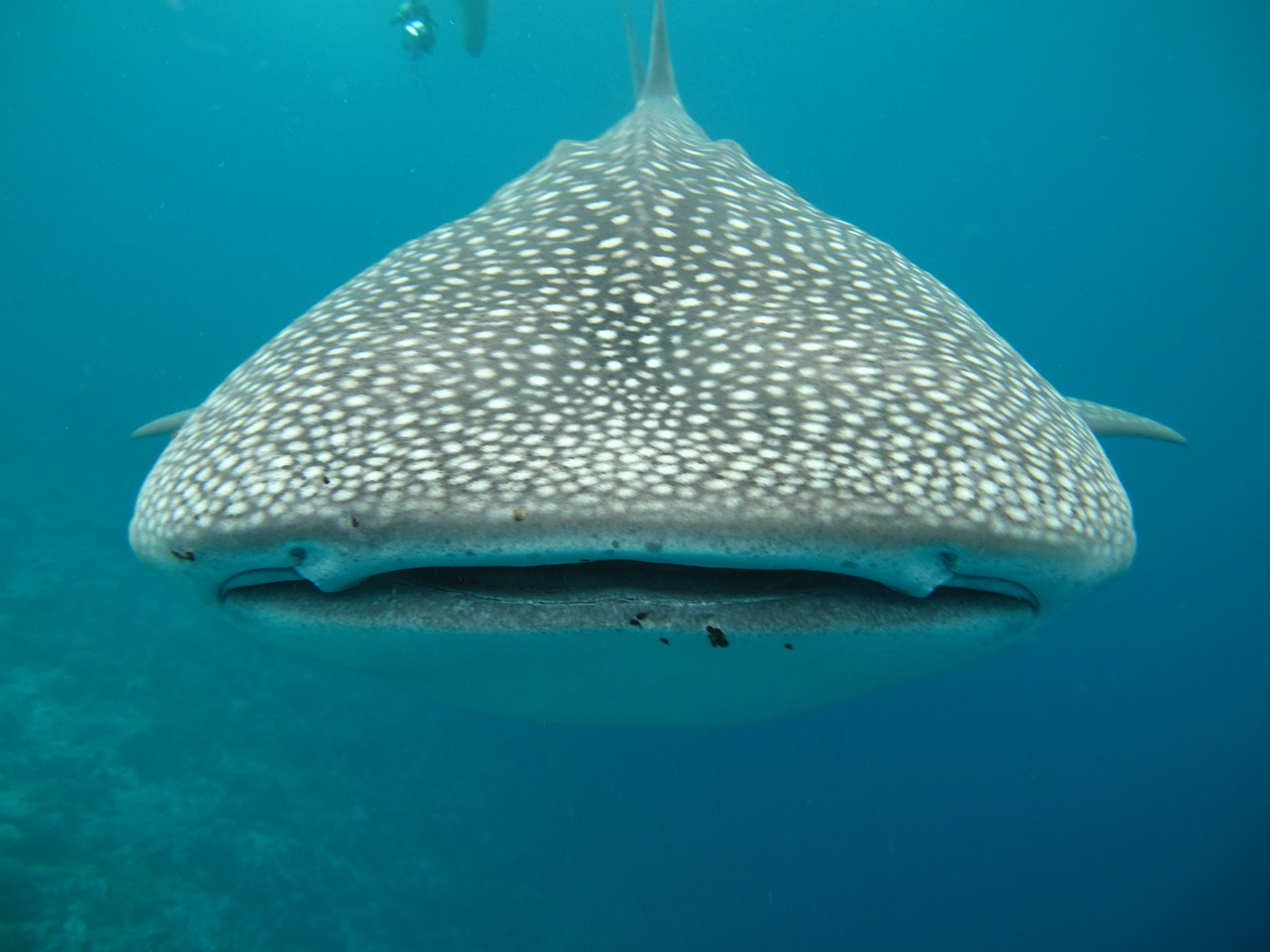 Whale shark maldives sea